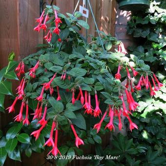 Fuchsia 'Boy Marc'