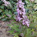 Vitex agnus-castus 'Pink Pinnacle'
