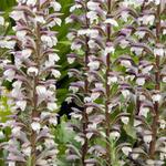 Acanthus mollis - Acanthe à feuilles molles - Acanthus mollis