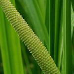 Acorus calamus - Acore odorant - Acorus calamus