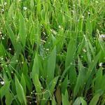Alisma lanceolatum - Lanzettblättriger Froschlöffel - Alisma lanceolatum