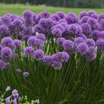 Allium 'Millennium' - Allium 'Millennium'
