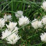 Allium schoenoprasum 'Corsican White' - Allium schoenoprasum 'Corsican White'