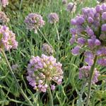 Allium senescens - Allium senescens