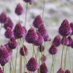 Allium sphaerocephalon - Ail à tête ronde - Allium sphaerocephalon