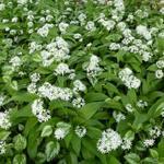 Allium ursinum - Allium ursinum