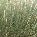 Ammophila arenaria - Gewöhnlicher Strandhafer - Ammophila arenaria