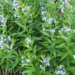 Amsonia illustris - Amsonia illustris