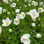 Anemone sylvestris - Großes Windröschen - Anemone sylvestris