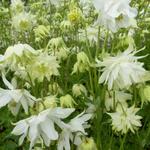Aquilegia vulgaris 'White Barlow' - Aquilegia vulgaris 'White Barlow'