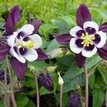 Aquilegia vulgaris 'William Guiness'  - Aquilegia vulgaris 'William Guiness'