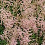 Astilbe simplicifolia 'Hennie graafland' - Astilbe simplicifolia 'Hennie graafland'