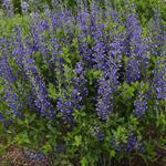 Baptisia australis  'DECADENCE Blueberry Sundae' - Baptisia australis  'DECADENCE Blueberry Sundae'