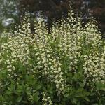 Baptisia australis  'DECADENCE Vanilla Cream' - Baptisia australis  'DECADENCE Vanilla Cream'
