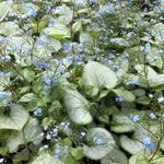 Brunnera macrophylla 'Looking Glass' - Brunnera macrophylla 'Looking Glass' - Brunnera macrophylla 'Looking Glass'