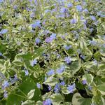 Brunnera macrophylla  'Variegata' - Brunnera macrophylla 'Variegata' - Brunnera macrophylla  'Variegata'