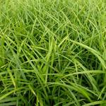 Carex morrowii - Japan-Segge