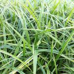 Carex morrowii 'Ice Dance' -