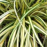 Carex oshimensis 'Evergold' -