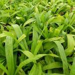 Carex plantaginea - Carex plantaginea
