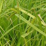Carex pseudocyperus - Scheinzypergras-Segge - Carex pseudocyperus