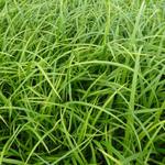 Carex sylvatica - Wald-Segge - Carex sylvatica
