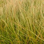 Carex testacea - Carex testacea