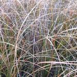 Carex testacea 'Prairie Fire' - Carex testacea 'Prairie Fire'