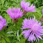 Zweifarbige Flockenblume - Centaurea dealbata