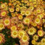 Chrysanthemum indicum 'Dernier Soleil' - Chrysanthemum indicum 'Dernier Soleil'