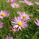 Chrysanthemum rubellum 'Clara Curtis' - Chrysanthemum rubellum 'Clara Curtis'