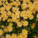 Chrysanthemum rubellum 'Mary Stoker' - Chrysanthemum rubellum 'Mary Stoker'
