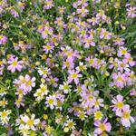 CORÉOPSIS ROSE, OEIL DE JEUNE FILLE - Coreopsis rosea 'American Dream'