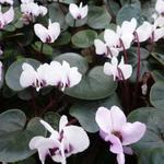 Cyclamen coum 'Album' -