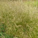 Deschampsia cespitosa 'Schottland' - Deschampsia cespitosa 'Schottland'