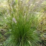 Deschampsia cespitosa 'Tardiflora' - Deschampsia cespitosa 'Tardiflora'
