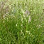 Deschampsia cespitosa 'Waldschratt' - Deschampsia cespitosa 'Waldschratt'
