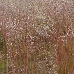 Deschampsia flexuosa - Draht-Schmiele - Deschampsia flexuosa