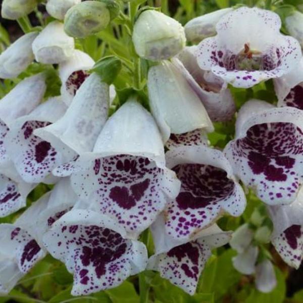 Plantes Digitalis purpurea Pam/'s choice pot 1 litre