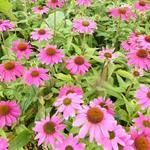 Echinacea purpurea 'POW WOW Wild Berry' - Echinacea purpurea 'POW WOW Wild Berry'