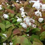 Epimedium x youngianum 'Niveum'