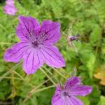 Erodium manescavii - Erodium manescavi - Erodium manescavii