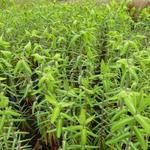 Euphorbia lathyris - Épurge - Euphorbia lathyris
