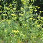 Fenchel - Foeniculum vulgare