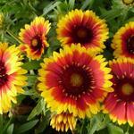 Gaillardia aristata 'Arizona Sun' - GAILLARDE - Gaillardia aristata 'Arizona Sun'