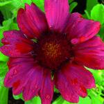 Gaillardia x grandiflora 'Burgunder' - Gaillardia x grandiflora 'Burgunder'
