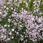 Gypsophila paniculata 'Rosenschleier'