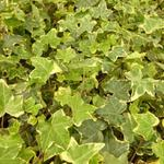 Hedera helix 'Goldchild' - LIERRE COMMUN 'GOLD HARALD'