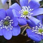 Hepatica nobilis - Hepatica nobilis