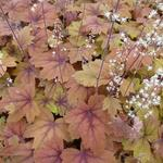 X Heucherella 'Sweet Tea'